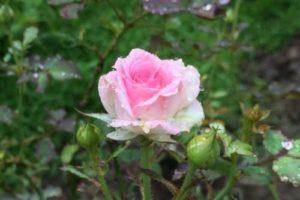 Herb Tea① ~ Rose Tea